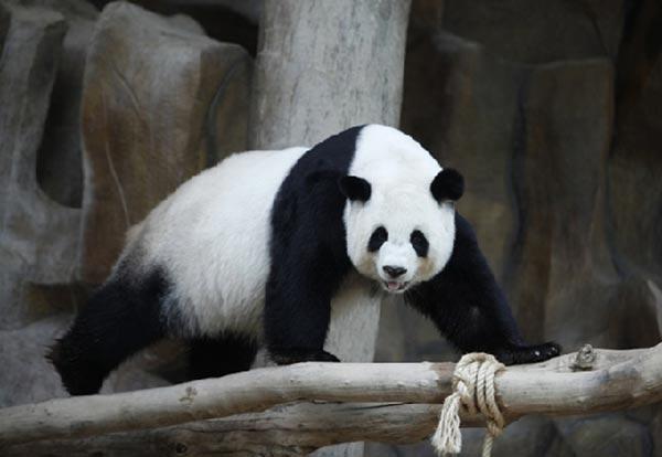 linping-panda-chiang-mai-zoo