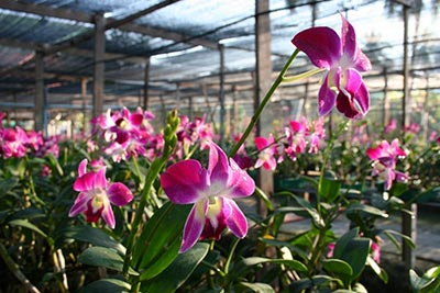 siphon orchid farm pattaya