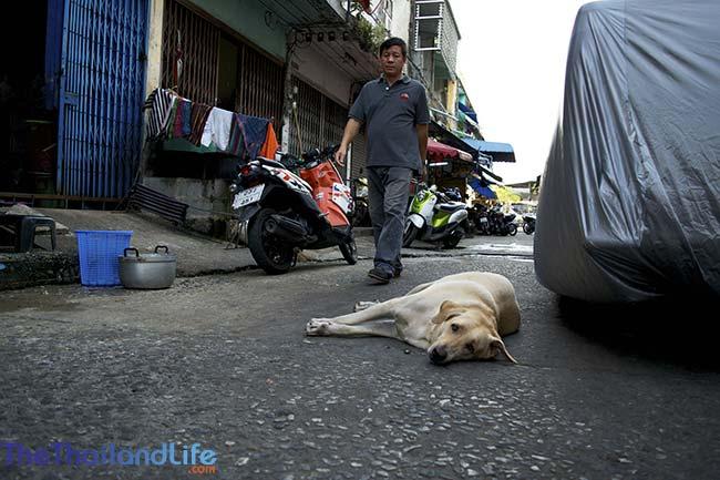 soi dog lying down