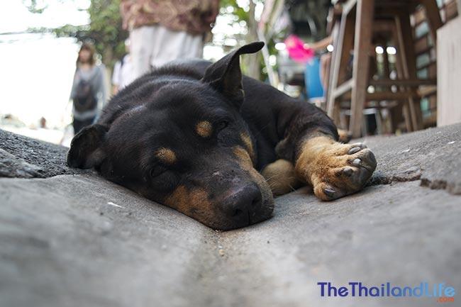 soi dog bangkok