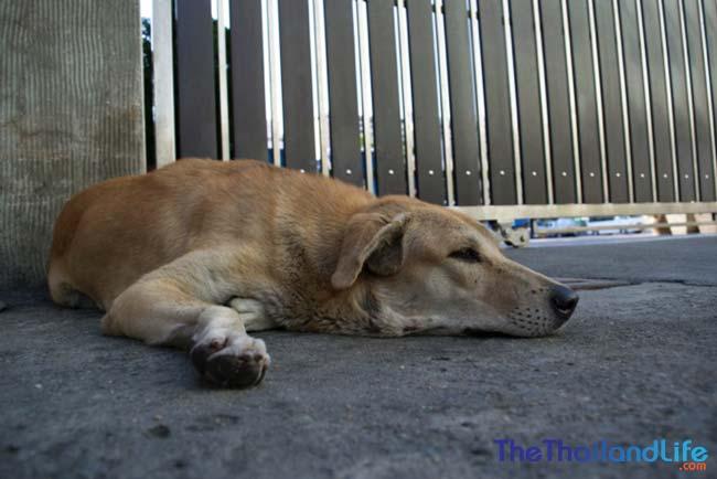 soi dog sleeping