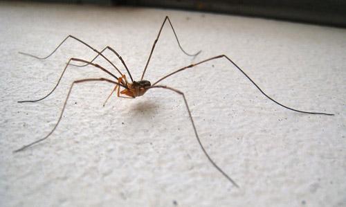 harvestman spider thailand