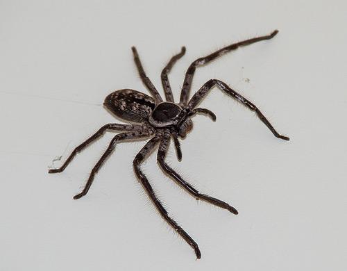 huntsman-spider-thailand