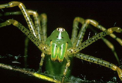 lynx spider thailand