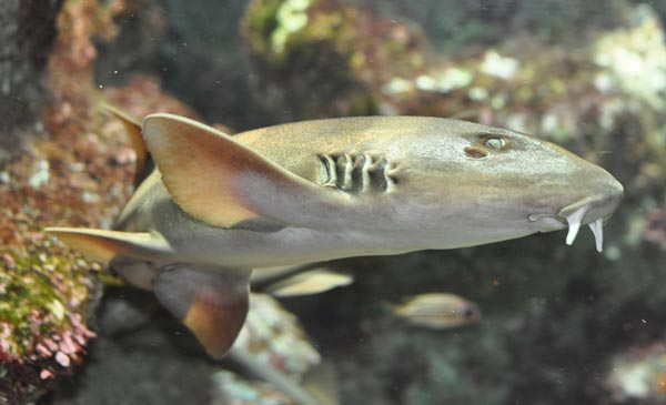bamboo shark thailand