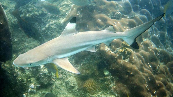 blacktip reef shark thailand