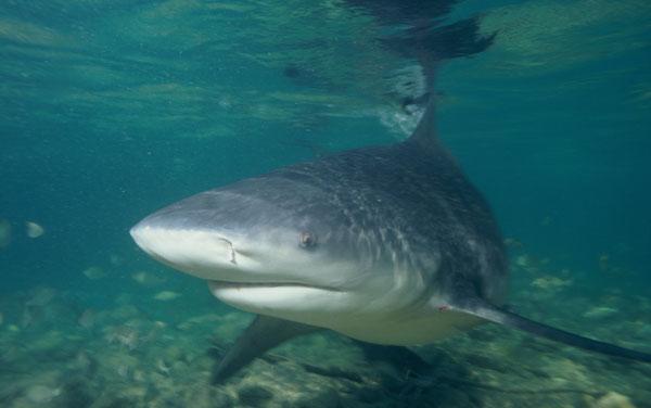 bull shark thailand