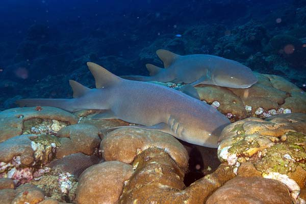 nurse shark thailand