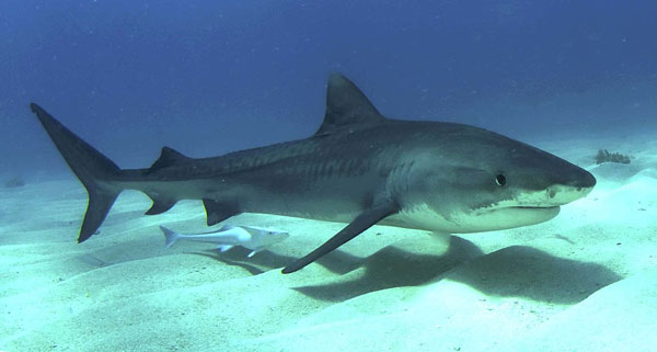 tiger shark thailand