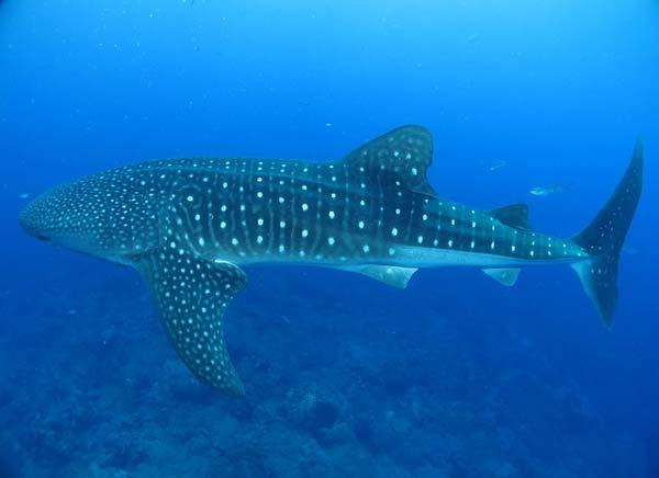 whale shark thailand