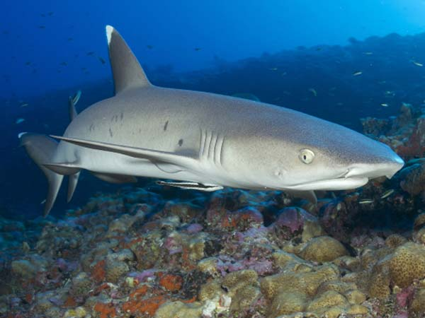 whitetip reef shark thailand