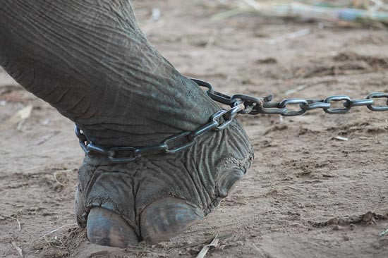 elephant-chained-thailand