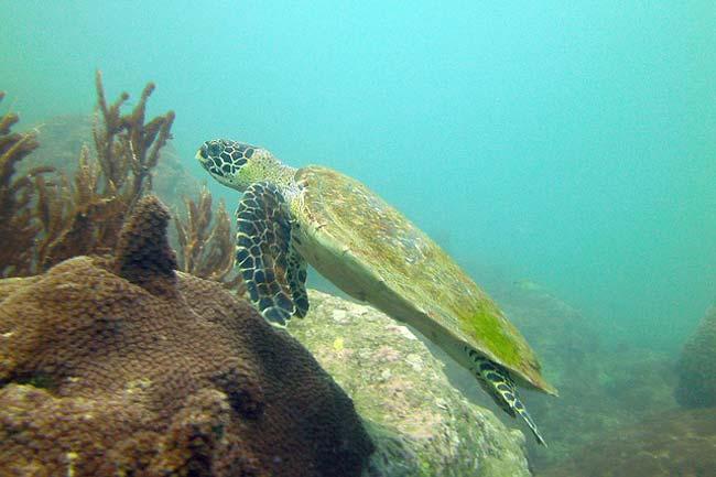turtle-koh-samui