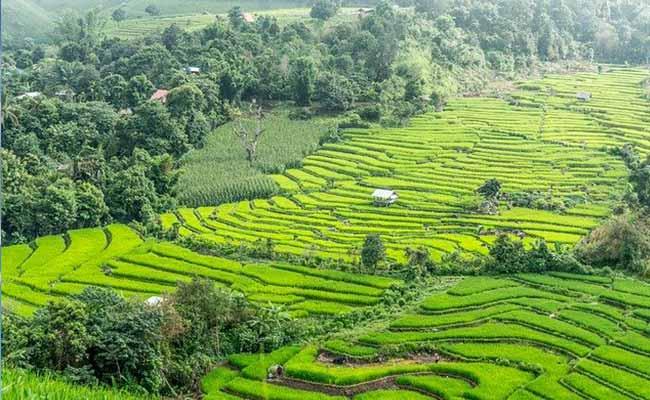 rice-paddies-chiang-mai